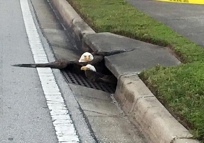 白头鹰一度被困在水渠。