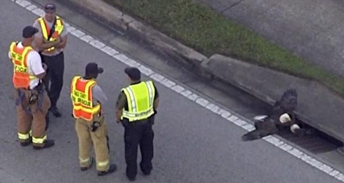 工作人员到场把白头鹰救出。