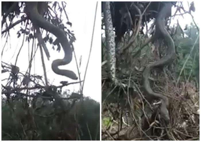 蟒蛇连同树根一起被扯起。