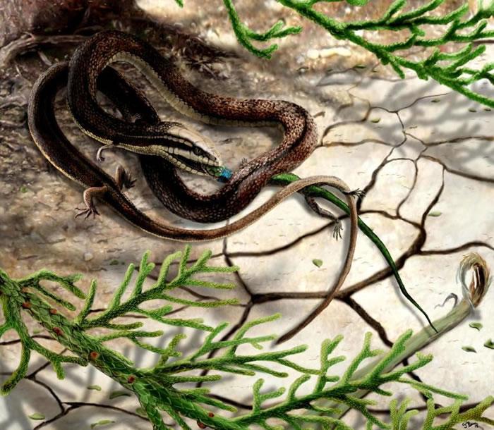 2015年的「四脚蛇」重建图。一份尚未完成的分析指出,该化石应该是一种称作伸龙(dolichosaur,意思是「长长的蜥蜴」)的已灭绝水生蜥蜴,而非先前所说的蛇
