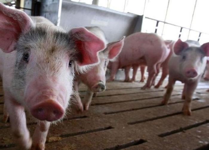 英国研究发现,猪和人类同样拥有个性,有时乐观,有时悲观。