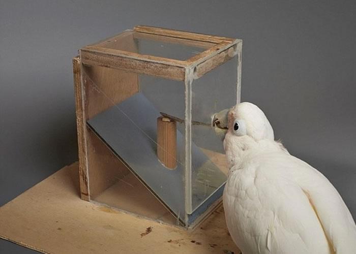 研究指鹦鹉的智慧灵活,能透过想像解决新问题。