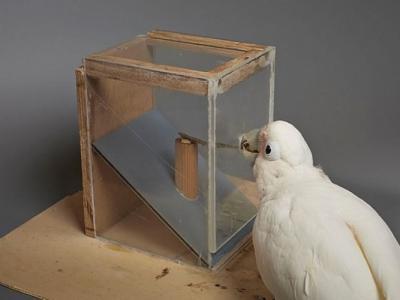 印尼戈芬氏凤头鹦鹉显智慧 自制工具取食