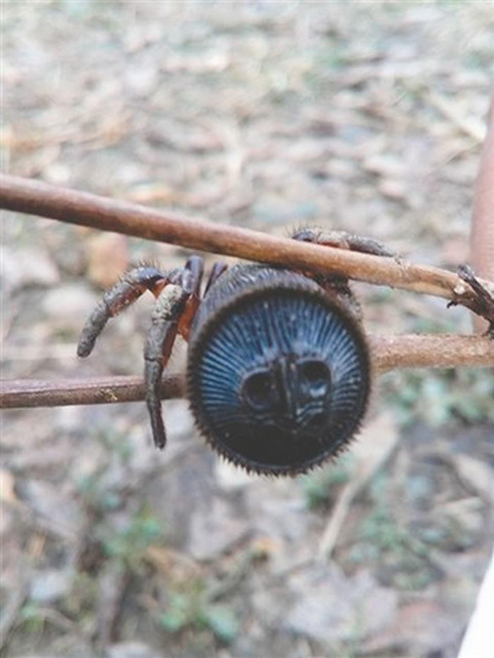 中国只发现过6只:四川蒲江村民在树林里挖出罕见蜘蛛 学名为里氏盘腹蛛