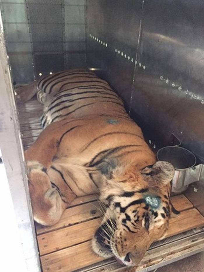 巴勒斯坦最后一只老虎拉齐兹从破烂脏乱动物园被救出来 送往南非过新生活