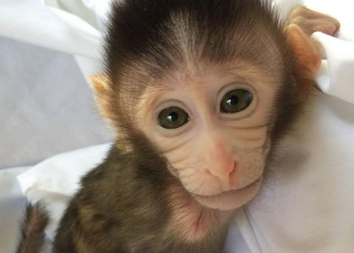 图为今年1月,在中国上海诞生的首只以基因改造自闭症猴子。