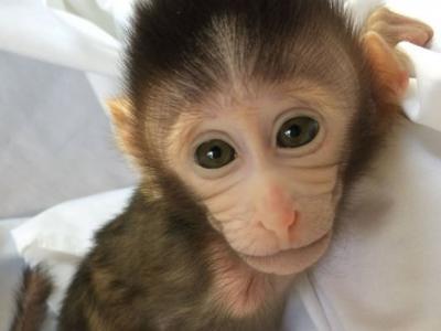 日本科研团队首次发现猴子遗传自闭症基因