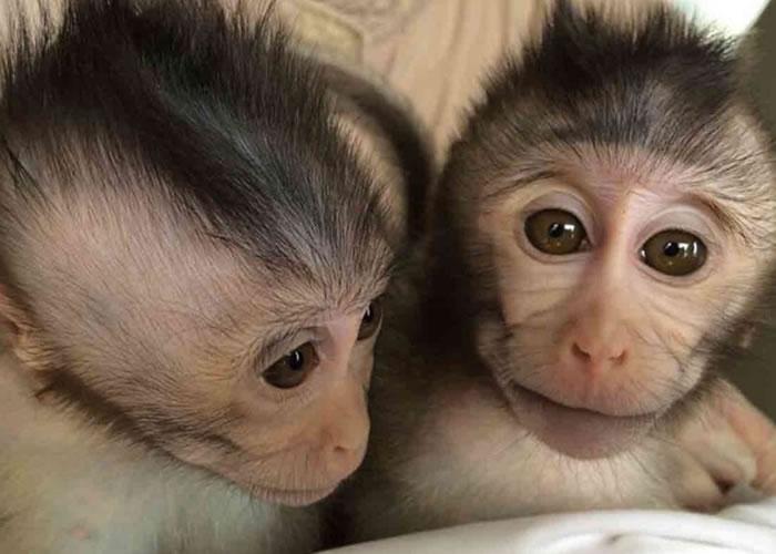过往从未在猴子身上找到天然的自闭症基因。