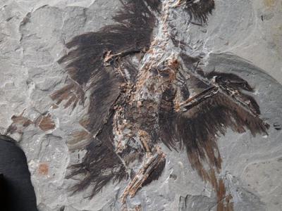 早白垩世鸟类——始孔子鸟羽毛角蛋白与色素体的分子证据