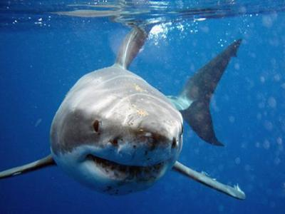 声名狼藉的水中捕猎者大白鲨不能在水族馆生存 体型庞大需要足够空间