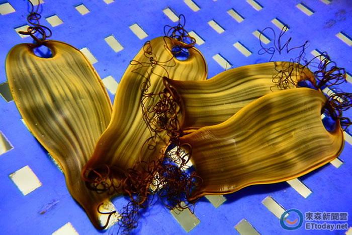 猫鲨的卵鞘呈现布袋形状。(图/屏东海生馆提供)
