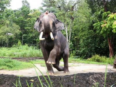 """新加坡明星大象""""查旺""""(Chawang)成动物大使 宣扬保育讯息"""