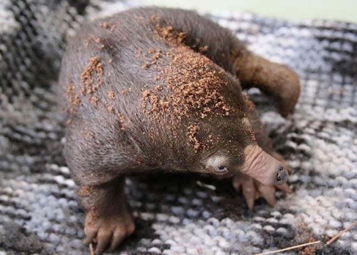 澳洲塔龙加动物园30年来首迎3只小短吻针鼹出生