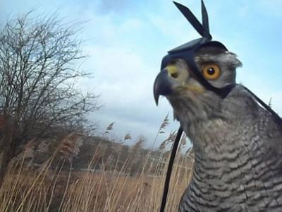 美国研究人员在苍鹰头部安装摄录机拍摄到捕获野兔过程