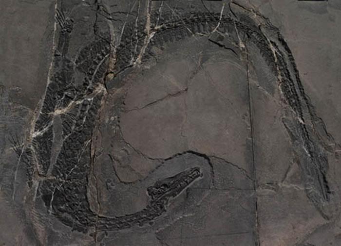 梦境滨鳄(Litorosuchus somnii)化石标本(李淳供图)