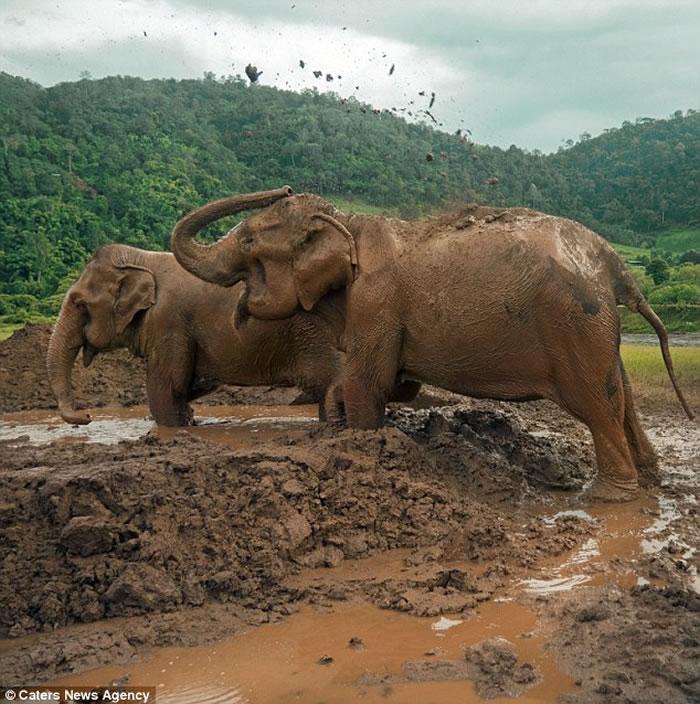遭奴役80年终重获自由,泰国2头大象直冲新家泥巴堆疯狂玩耍体会自由 (神秘的地球uux.cn报道)据ETtoday:等了一辈子终于重获自由!泰国骑乘大象产业兴盛,不少动保人士认为这是相当残忍的事。一名加拿大男子出钱出力,将两头深陷恶劣环境80年的大象拯救出来,并将制作纪录片教育大众善待大象,因为有灵性的它们会为此受伤。 过去80年,Boonme和Buabaan两头大象被套上锁炼,被迫从事林木搬运和供游客骑乘的苦役,它们每天背载数十人,即使累倒也会被起重机拉起,强迫继续工作,直到这位救星的出现--23岁的