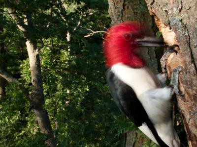 啄木鸟为什么不会头痛?具备某种聪明机制来保护头部