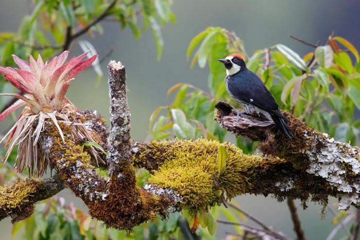 哥斯达黎加枝头上的一只橡实啄木鸟。这种鸟以高超的啄木技能出名。 PHOTOGRAPH BY GLENN BARTLEY, GETTY IMAGES
