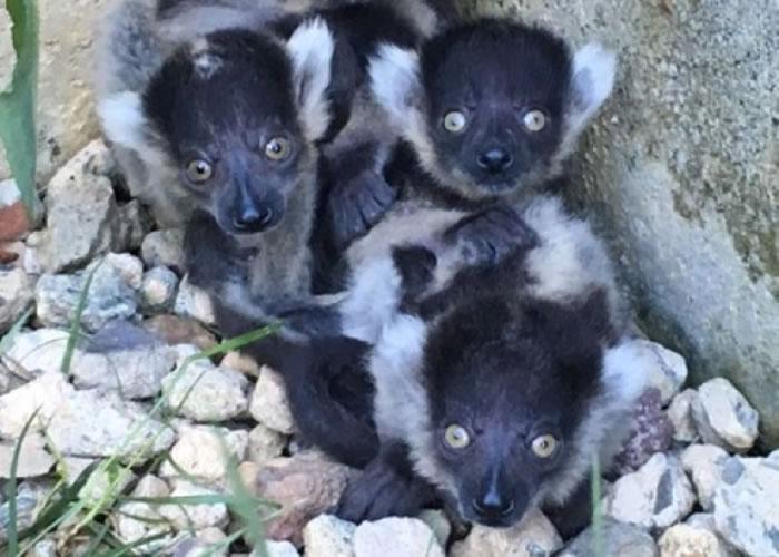 黑白领狐猴样子可爱。