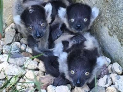 澳洲堪培拉国家动物园和水族馆4只黑白领狐猴诞生