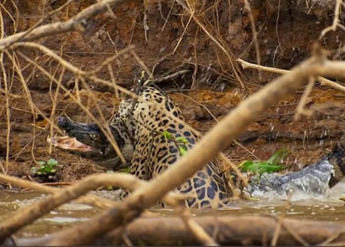美洲豹在河中与大鳄搏斗。