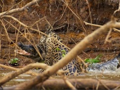 BBC行星地球(地球脉动)II:巴西河流美洲豹猎杀鳄鱼