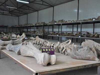 """""""中国猛犸象故乡――青冈""""化石资源将申报世界自然遗产"""