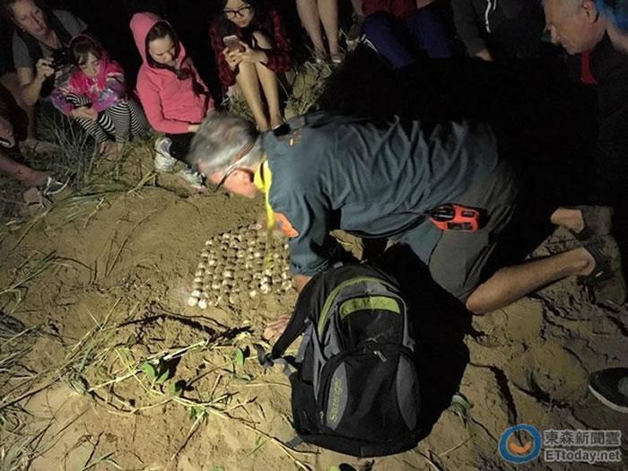 澳洲昆士兰海龟妈妈游上岸一口气产下127颗蛋