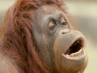 美国印第安纳波利斯市立动物园红毛猩猩与人类的沟通中会模仿500多种类似英文母音