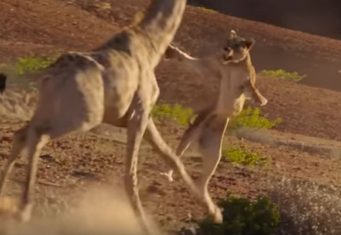BBC行星地球(地球脉动)II:草原狮子试图想掠食长颈鹿被踢翻在地