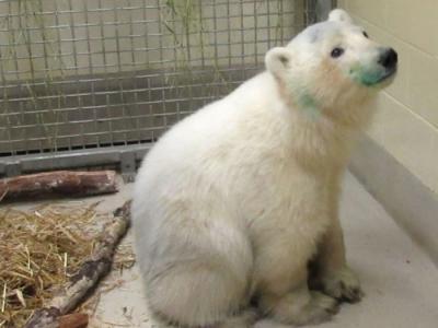 加拿大马尼托巴省孤儿北极熊交由动物园照顾
