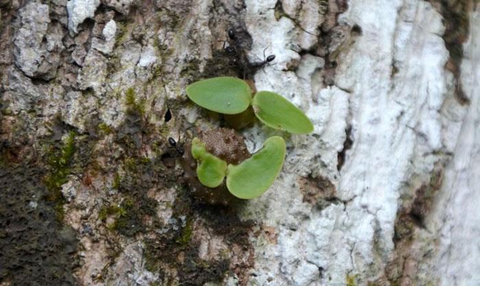 """地球上最早的""""农夫"""":斐济一种蚂蚁(凹头臭蚁)三百万年前就懂得农业种植"""
