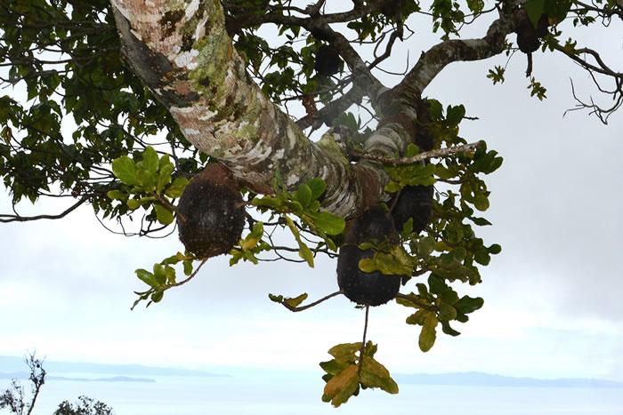 斐济一种蚂蚁会传播附生植物种子,然后施肥直至长出美味的果实,最终成为它们的食物来源
