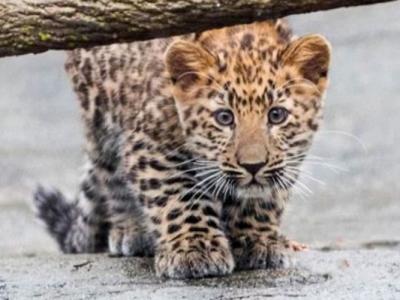 美国伊利诺伊州的布鲁克菲尔德动物园小远东豹初亮相