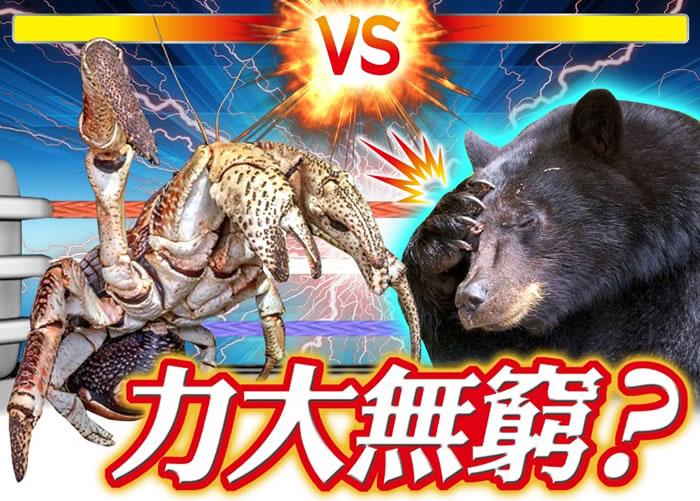 椰子蟹(左)的夹力比黑熊(右)的咬力还要大。