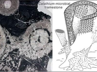 最新研究发现瓶筐石是中奥陶世重要的造礁生物