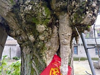 江苏省泰州市200岁银杏树慢慢长出一张人脸