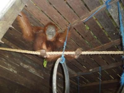 印尼红毛猩猩Aan被人用气枪射击100多次