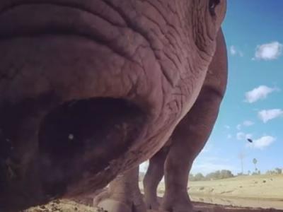 美国圣地牙哥动物公园黑犀牛被摄影机吓到