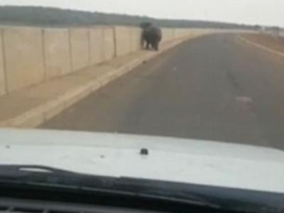 南非克鲁格国家公园河马施铁头功撞凹汽车