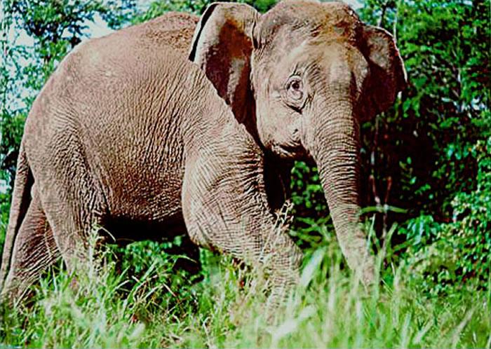 每15分钟就有一头大象死亡 婆罗洲侏儒象只剩1500头