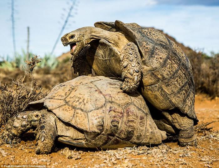 英国生态摄影师在南非拍摄到一对豹纹陆龟交配的珍贵画面