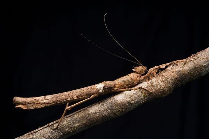 马来西亚婆罗洲,一只竹节虫伪装成树枝的模样。 PHOTOGRAPH BY CH'IEN LEE, NATIONAL GEOGRAPHIC