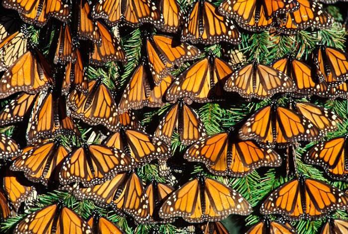 墨西哥米却肯州的帝王斑蝶(Danaus plexippus)正在做日光浴呢。 PHOTOGRAPH BY FRANS LANTING, NATIONAL GEO