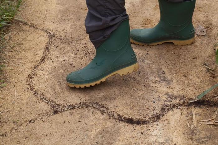 行军蚁在迦纳的土地上「行军」! PHOTOGRAPH BY JOE BLOSSOM, ALAMY