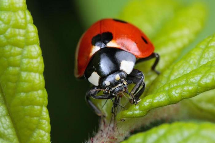 一只瓢虫正在捕时某种以农作物为食的蚜虫。 PHOTOGRAPH BY GEORGE GRALL, NATIONAL GEOGRAPHIC