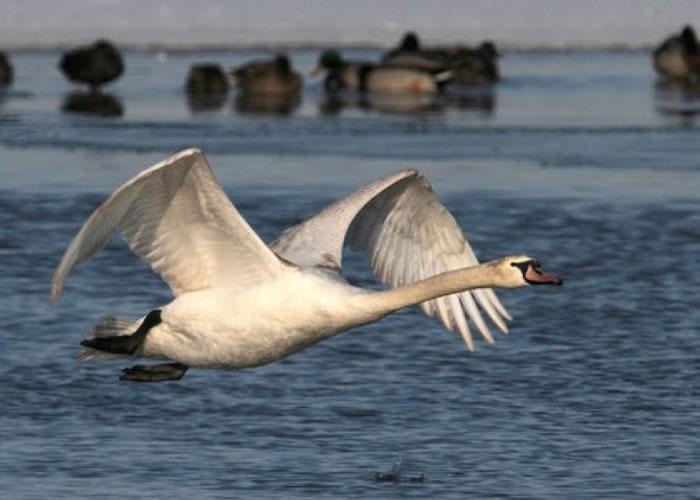 纽约州打算特赦疣鼻天鹅。