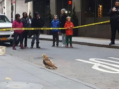 美国红尾鹰撞伤头部 呆呆降落曼哈顿街道