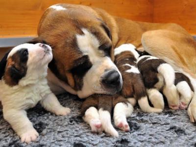 圣诞节临近 宠物狗中巧克力毒个案或激增