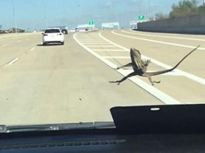 地表最强蜥蜴!车速飙到130公里仍紧贴挡风玻璃不放